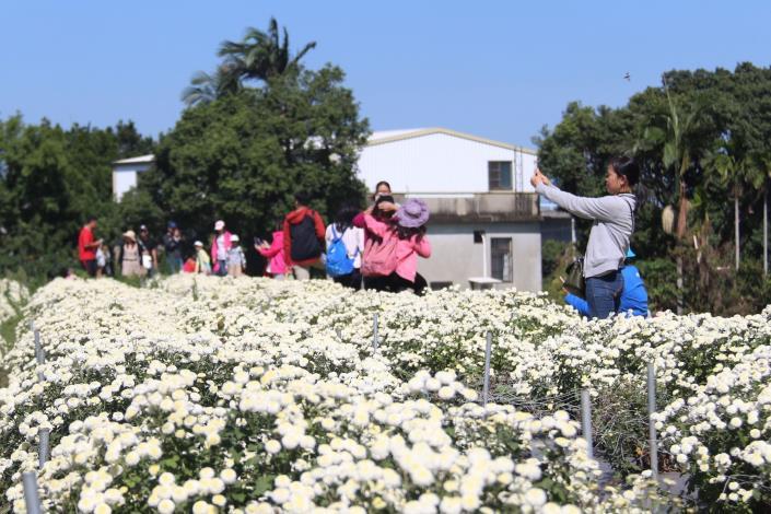 吸引遊客拍杭菊.JPG