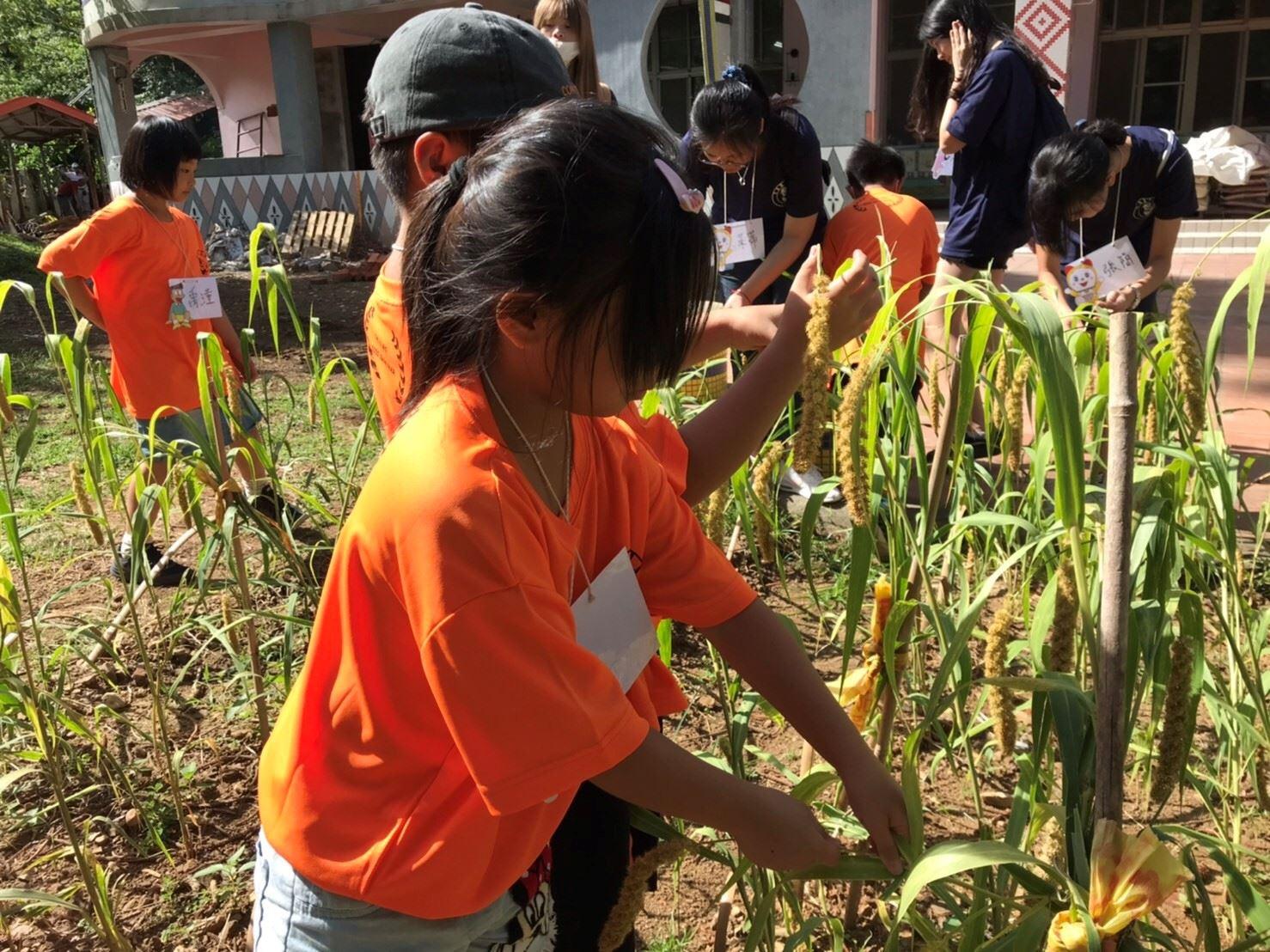 小米文化課程—採收小米