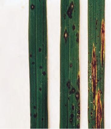 發布苗栗地區水稻稻熱病預防及防治警報,請農友注意因應