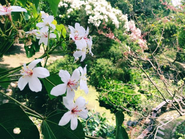 杜石地一號紫錐花莊園