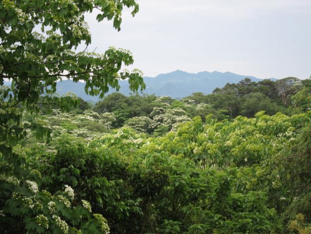 廣興山林的桐花之美