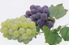 維他命豐富香氣四溢的「葡萄」