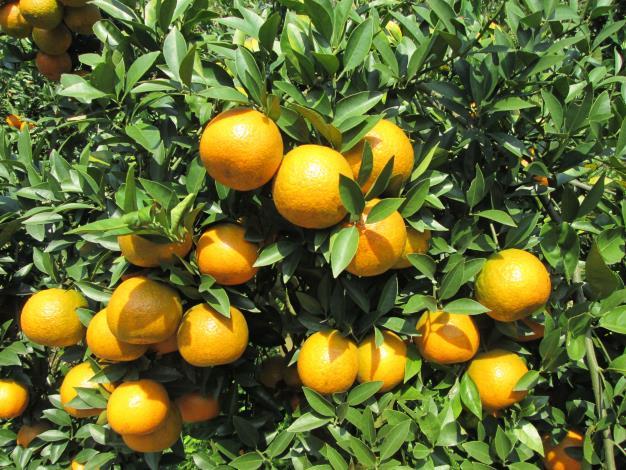 橘子.JPG